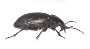 земля coriaceus carabus жука Стоковая Фотография RF