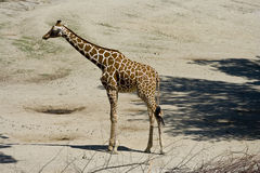 земля giraffe Стоковое Фото