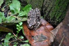 Земная жаба сидя на траве около старой стены стоковые фотографии rf