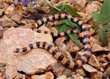 Земная змейка, semiannulata Соноры стоковые изображения