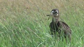 Земная птица-носорог акции видеоматериалы