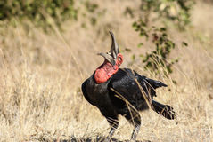 Земная птица-носорог Стоковое фото RF