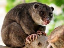 Земное cuscus Стоковое Изображение RF
