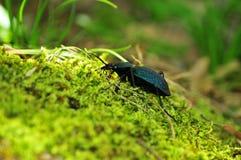 Земной жук 3 Стоковые Фотографии RF