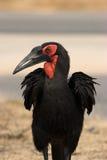 земной hornbill Стоковые Изображения RF