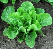 земной romaine салата Стоковое фото RF