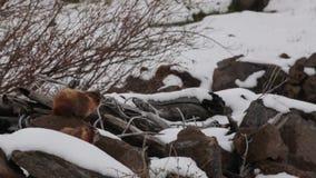 Земные боровы в снеге и ветре акции видеоматериалы