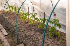 Земные томаты Стоковое Фото