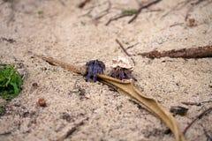 Земный краб затворницы, purpureus Stimpson Coenobita--национально защитил вид, на пляже Tomori на Amam стоковое изображение