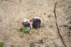 Земный краб затворницы, purpureus Stimpson Coenobita--национально защитил вид, на пляже Tomori на Amam стоковая фотография