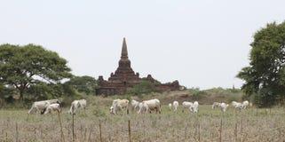 Земледелие и пагода Стоковое Фото