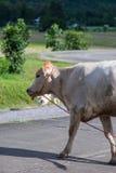 Земледелие коровы в городе Стоковое Изображение RF