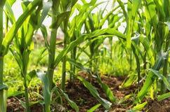 Земледелие мозоли green nature Сельское поле на сельскохозяйственном угодье в summ Стоковое фото RF