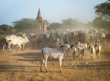 Земледелие Мьянмы Стоковое Изображение RF