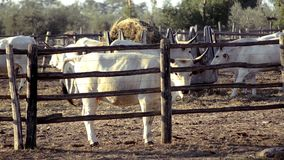 Земледелие, обрабатываемая земля, коровы видеоматериал