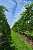 Земледелие - плантация плодоовощ персикового дерева Стоковое Изображение RF