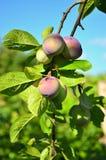 земледелие разветвляет вал сливы плодоовощ принципиальной схемы вкусный Стоковые Фотографии RF