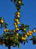 земледелие разветвляет вал сливы плодоовощ принципиальной схемы вкусный Стоковые Изображения RF