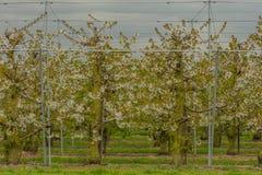 Земледелие - сад вишни Стоковое Фото