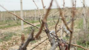 Земледелие сбора виноградника промышленного отснятого видеоматериала урожая жатки надземное воздушное гребет и выравнивается трут сток-видео