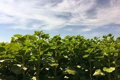 Земледелие солнцецвета green nature Сельское поле на сельскохозяйственном угодье в лете Выращивание растения Сцена сельского хозя Стоковое Фото
