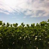 Земледелие солнцецвета green nature Сельское поле на сельскохозяйственном угодье в лете Выращивание растения Сцена сельского хозя стоковые изображения