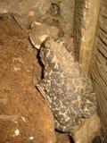 Землистая жаба Стоковое фото RF