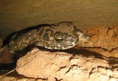 Землистая жаба Стоковое Изображение
