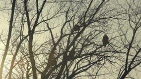 Земли белоголового орлана на сумраке сток-видео