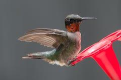 Земли колибри для обеда стоковые фотографии rf