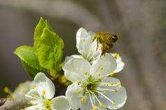 Земли пчелы на белых цветках Стоковая Фотография RF
