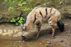 Земляной волк Стоковые Фотографии RF