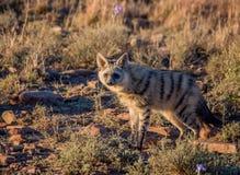 Земляной волк Стоковое Изображение