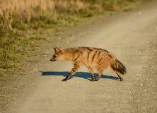 Земляной волк Стоковое Фото