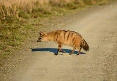 Земляной волк Стоковые Изображения RF