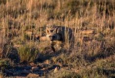 Земляной волк Стоковое Изображение RF