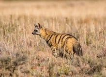 Земляной волк Стоковое фото RF