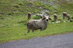 Земля зеленого цвета выгона коровы Стоковое Изображение
