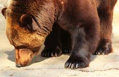 Земля обнюхивать бурого медведя (arctos Ursus) в зоопарке Стоковая Фотография RF