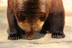 Земля обнюхивать бурого медведя (arctos Ursus) в зоопарке Стоковая Фотография