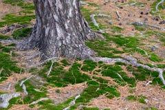 Земля около хобота сосны Стоковое Фото