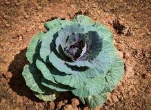 Земля пурпура капусты Стоковое Изображение RF