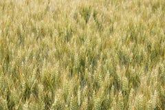 Земля пшеницы задняя Стоковая Фотография RF