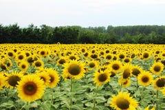 Земля с солнцецветами Стоковая Фотография