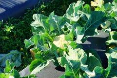 Земля цветной капусты Стоковая Фотография RF