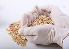 Зерна в руках исследователя Стоковое Изображение