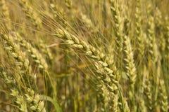 Зерна зрея в полях Стоковые Изображения RF