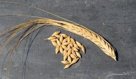 Зерна и стручок ячменя Стоковое Изображение