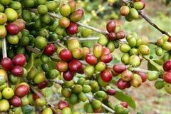 зерна кофе Стоковое Фото