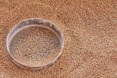 Зерна пшеницы в металлическую сетку Взгляд сверху, текстура зерен пшеницы стоковые изображения rf